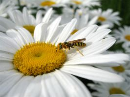 Bee Like Wasp on a Daisy by paploothelearned