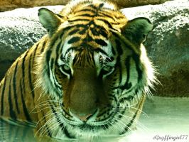 Amur Tiger by Gryffingirl77