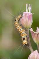 Caterpillar on flower by dllavaneras