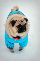 winter pug - Otis by HollyHuntington
