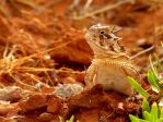 Horned Toad 2011 by SuicideBySafetyPin