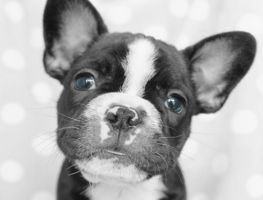 French bulldog puppy by Thelema001