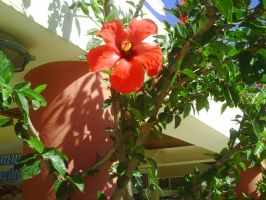 Red Hibiscus by AnneMarie1986