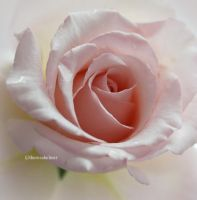 A Pink Garden Rose by theresahelmer