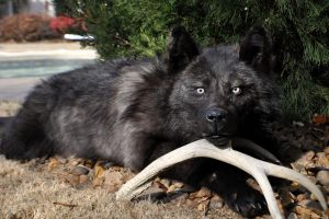 Donovan the Black Wolf Softmount by AlmostAustralian