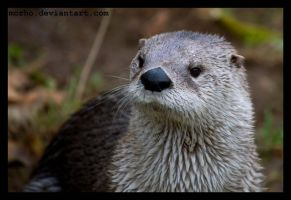 otter by morho