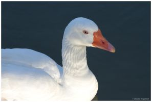 Old  goose by Claudia008