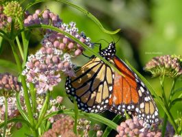 Monarch by DaisyDinkle