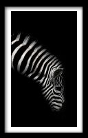Photo - Zebra by emailandthings