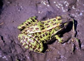 Northern Leopard Frog by Lone---Wolf