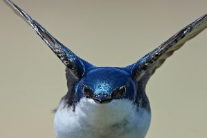 Tree Swallow - Manouvers by JestePhotography
