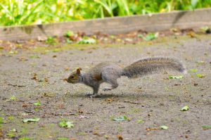 Squirrel by Missmith91