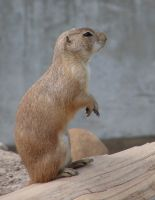 Really Cute Prairie Dog 7 by FantasyStock