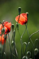 Poppy by Ventana-Graff