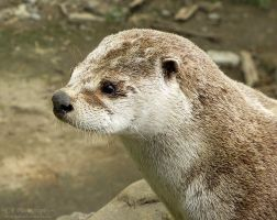 River Otter 558 by caybeach