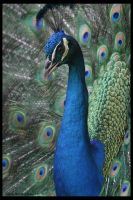 Peacock close up by VerdanaWiltleaf