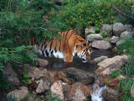 Cheyenne Mtn Zoo 38 Tiger by Falln-Stock