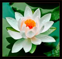 White Water Lily by gursesl