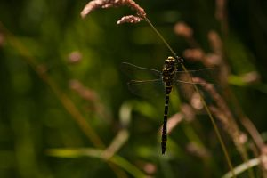 Dragonfly 1 by Coraline29