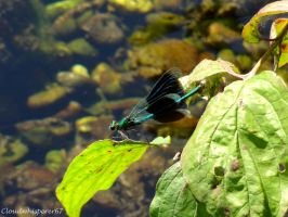 Black-Wing Beautiful Demoiselle - Calopteryx Virgo by Cloudwhisperer67