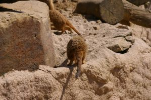 Meerkats VI by expression-stock