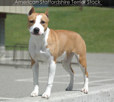 American Staffordshire Terrier Stock by reinafawn