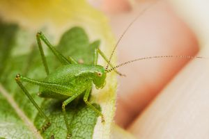 Speckled Bush Cricket by snomanda