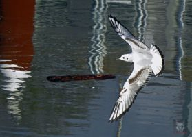 Seagull Strafing Water by wolfwings1