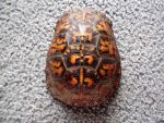 Red Box Turtle Stock 6 by HannibolLove