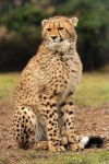 Young Cheetah Boy by Khalliysgraphy
