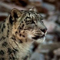 Snow Leopard I Color by Abyssinians