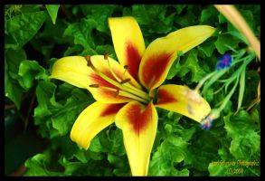 Lily 5 by KSPhotographic