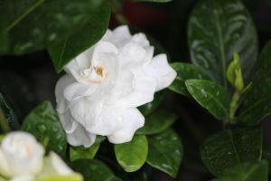 Gardenia after the rain by trendyblue
