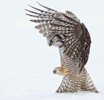 Northern Hawk Owl by AForns