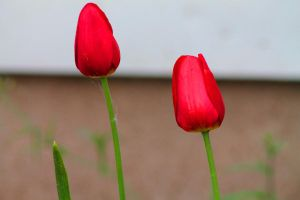 Tulips by Nookslider