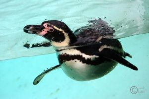 Penguin by pduffill