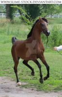 bay arabian halter on one foot at camera by slime-stock