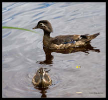 Wood Duck Mother and Babe by Mogrianne