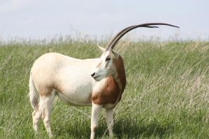 Scimitar-horned oryx by jland89
