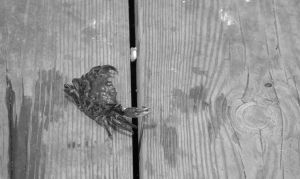 Crab On the Wharf Planks by Miss-Tbones