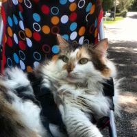 My cat Claudia in the stroller by DjhannaS