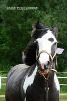 Gypsy Cob portrait by MorganeS-Photographe