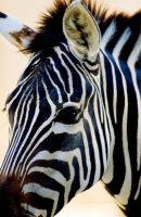 Zebra by Art-Photo