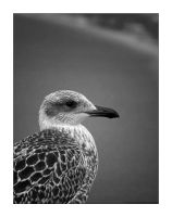 Gull 5 by TND-Photography