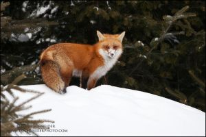 Fox at forest's edge by gregster09