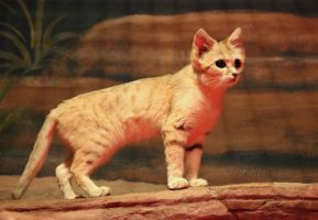Sand Cat by cindy1701d