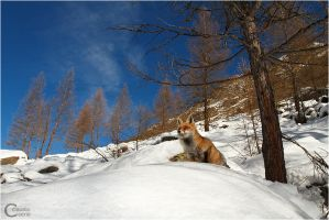 Red Fox by ClaudeG