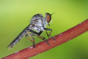 Robberfly by melvynyeo