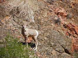 Solitary Bighorn Sheep by Synaptica