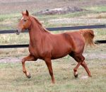 chestnut saddlebred mare 1 by venomxbaby